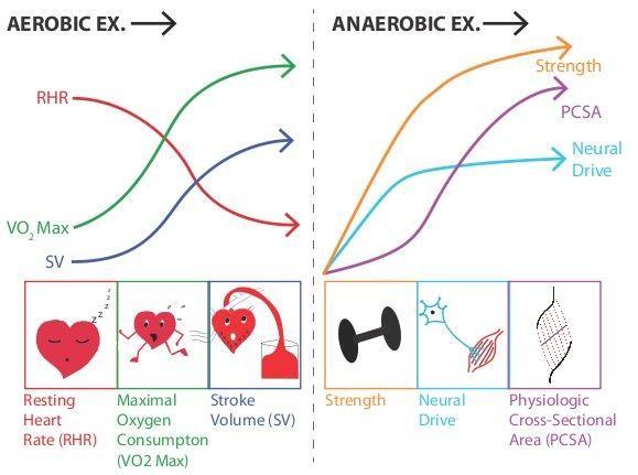 Adaptaciones a largo plazo del ejercicio aeróbico y anaeróbico
