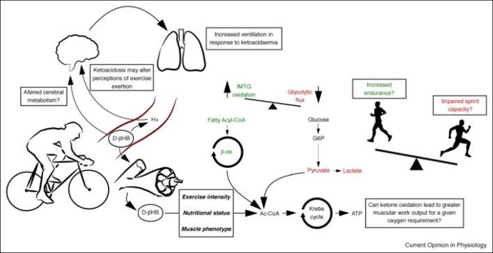Cambios metabólicos y beneficios de la cetosis