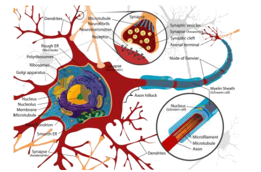 mielina en axones actividad física en la esclerosis múltiple
